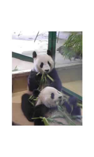 Pandas in Vienna Zoo